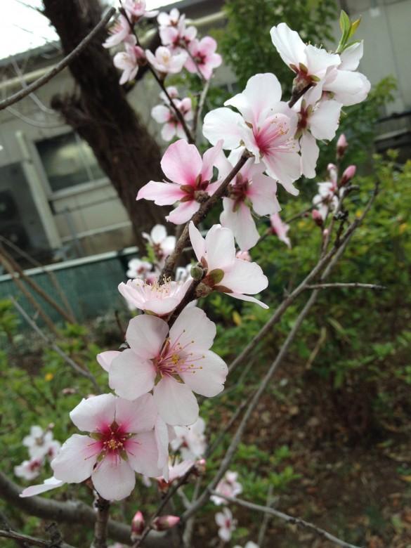 ちいさな木の大きな花