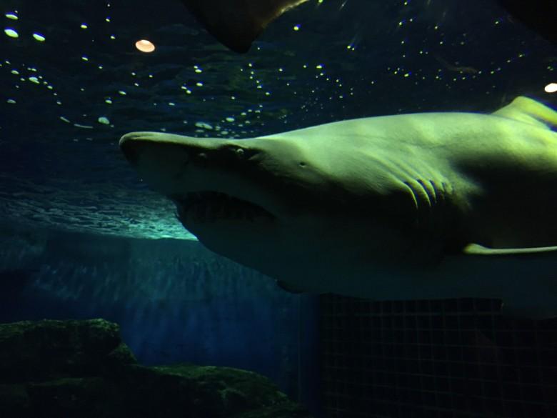サメのコーナーでは、小さい子と一緒に大喜び!